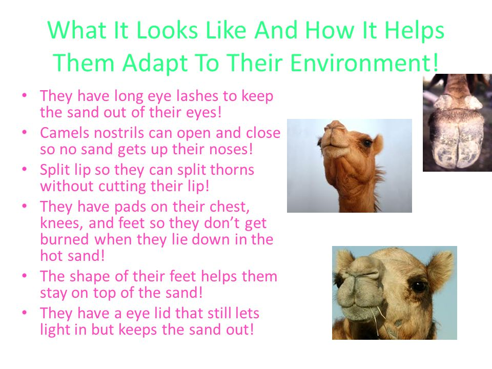 What It Looks Like And How It Helps Them Adapt To Their Environment! They have long eye lashes to keep the sand out of their eyes! Camels nostrils can