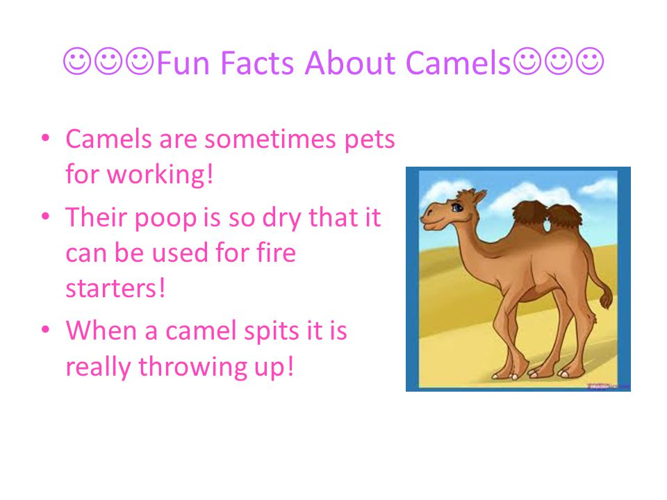 Fun Facts About Camels Camels are sometimes pets for working! Their poop is so dry that it can be used for fire starters! When a camel spits it is rea