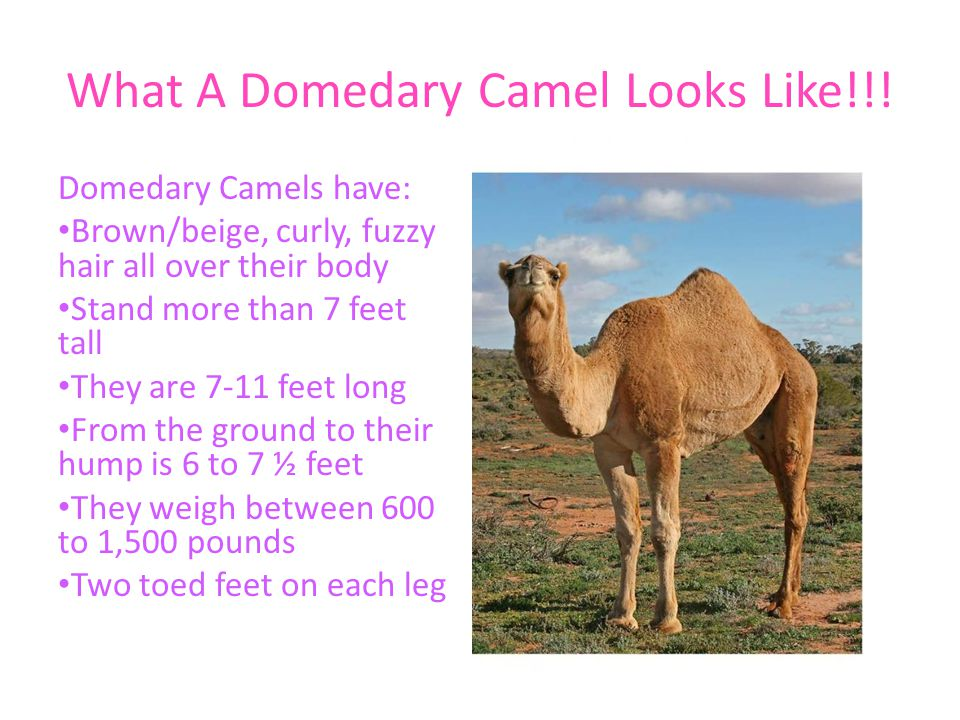 How They Act and How That Helps Them Adapt to Their Environment A camel can go a week or more without water.