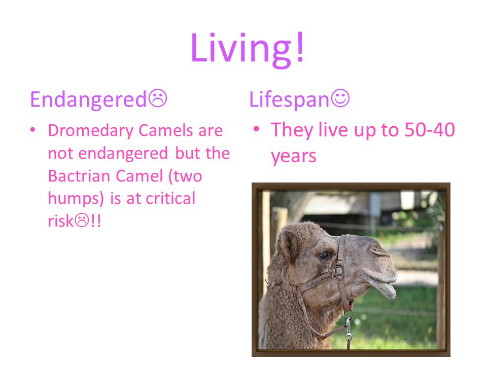 Habitat.They live in deserts. Dromedary Camels live in Northern Africa.