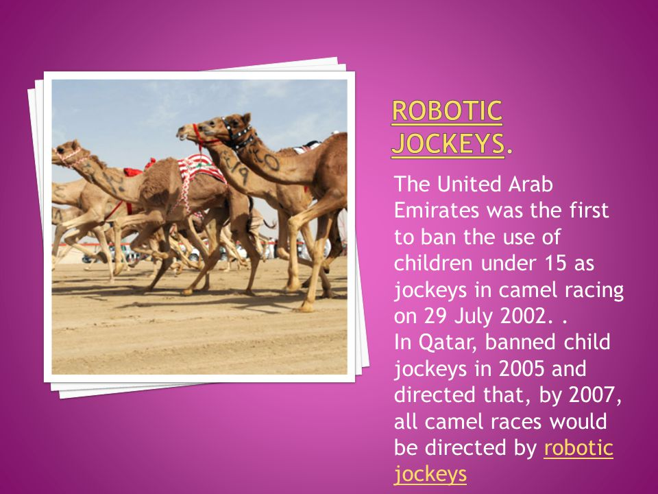 Many child camel jockeys are seriously injured by falling off the camels. Camels are often controlled by child jockeys, but allegations of human right