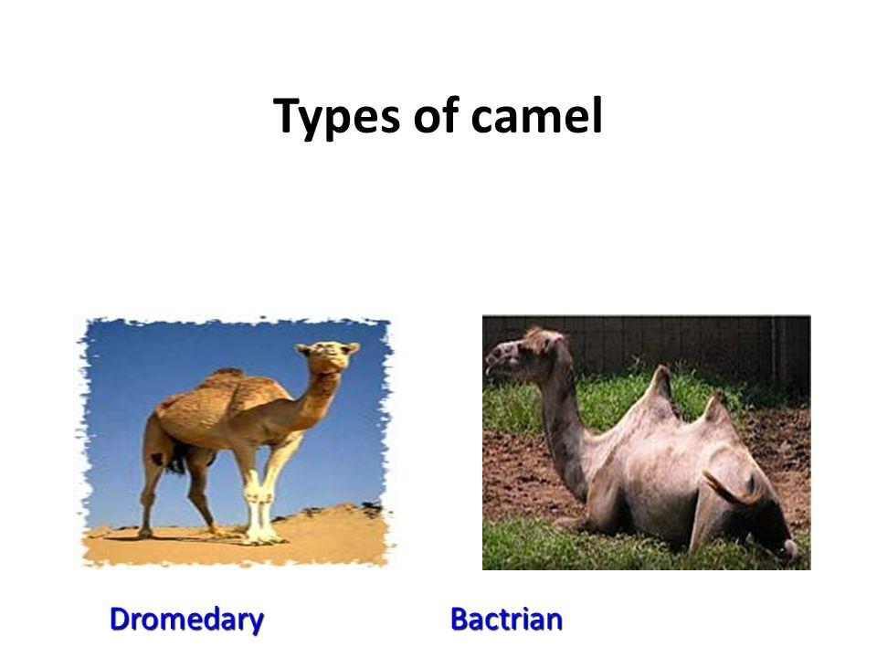 Types of camel Dromedary Bactrian Dromedary Bactrian