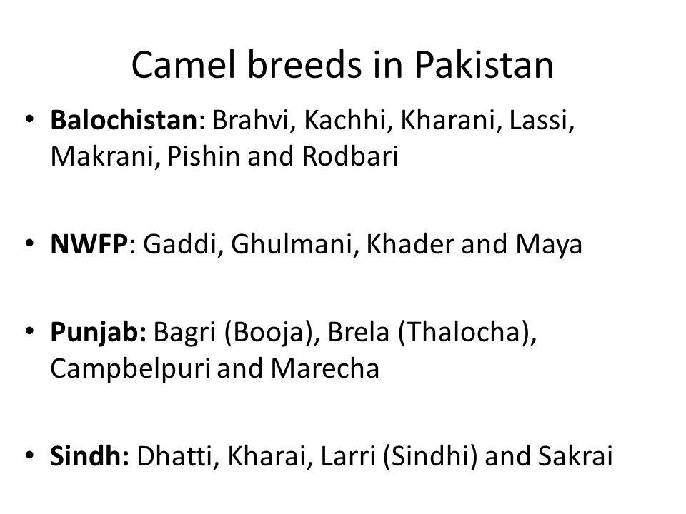 Camel breeds in Pakistan Balochistan: Brahvi, Kachhi, Kharani, Lassi, Makrani, Pishin and Rodbari NWFP: Gaddi, Ghulmani, Khader and Maya Punjab: Bagri (Booja), Brela (Thalocha), Campbelpuri and Marecha Sindh: Dhatti, Kharai, Larri (Sindhi) and Sakrai