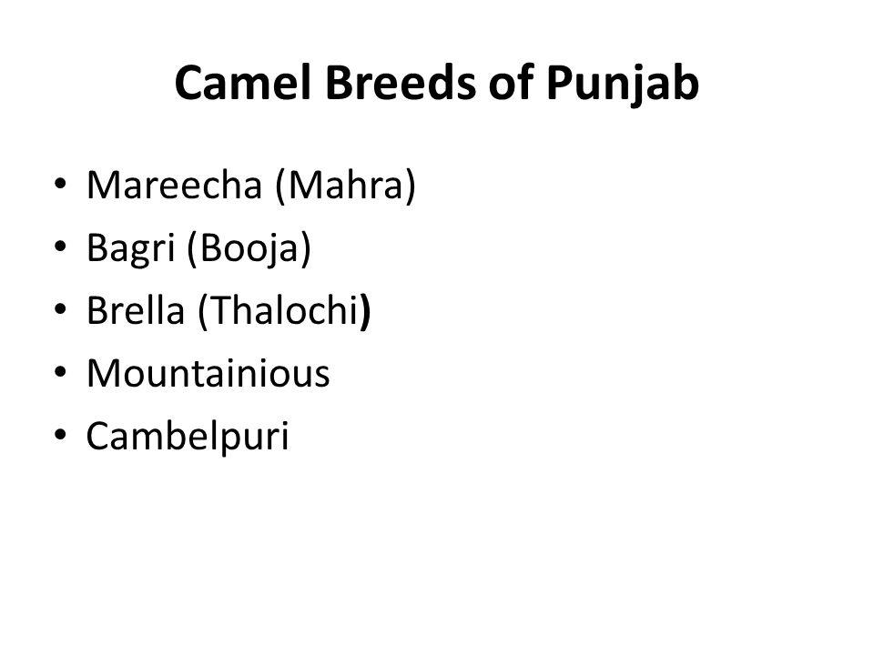 Camel Breeds of Punjab Mareecha (Mahra) Bagri (Booja) Brella (Thalochi) Mountainious Cambelpuri