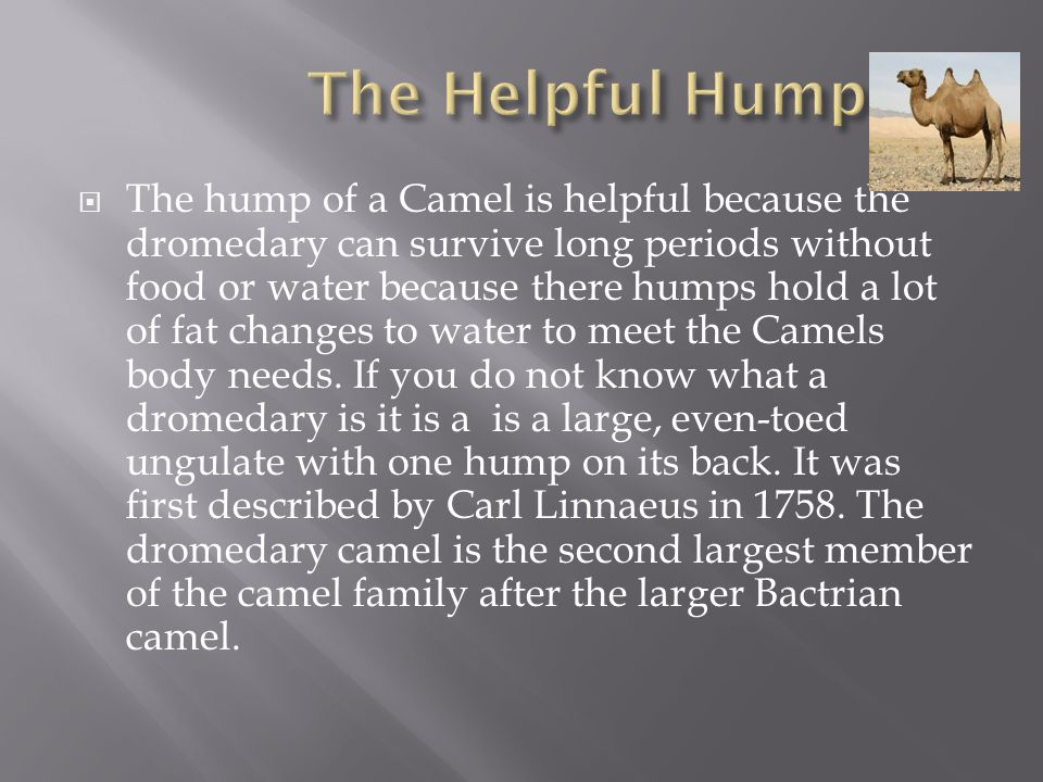  The hump of a Camel is helpful because the dromedary can survive long periods without food or water because there humps hold a lot of fat changes to