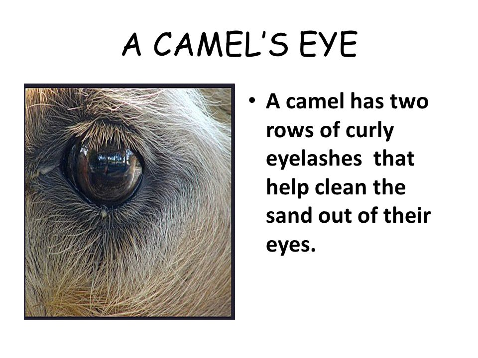 A CAMEL'S EYE A camel has two rows of curly eyelashes that help clean the sand out of their eyes.