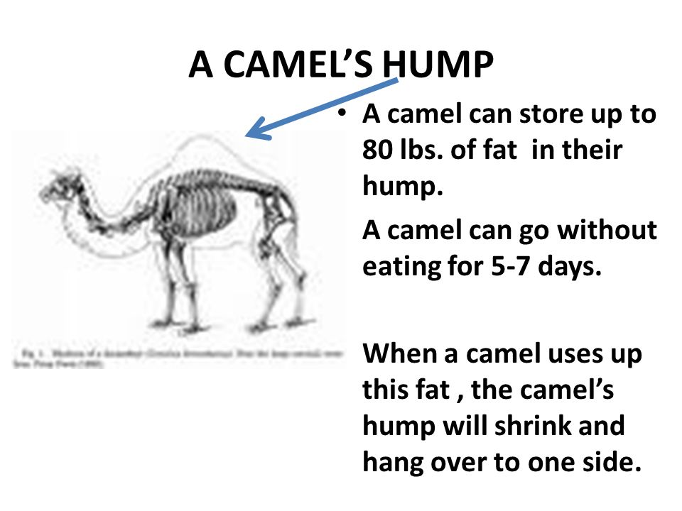 A CAMEL'S HUMP A camel can store up to 80 lbs. of fat in their hump.
