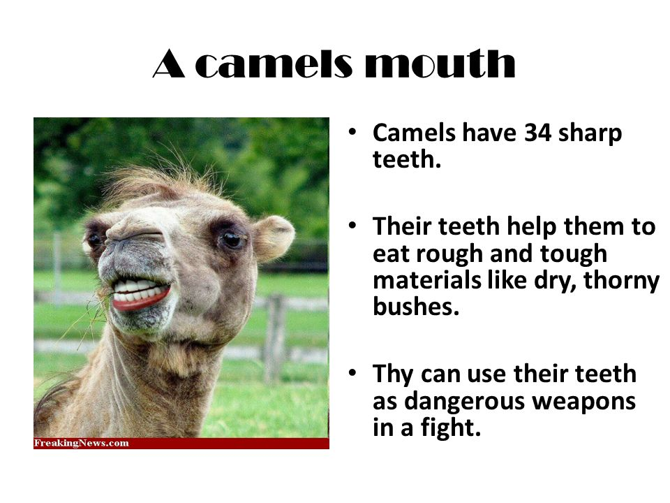 A camels mouth Camels have 34 sharp teeth.