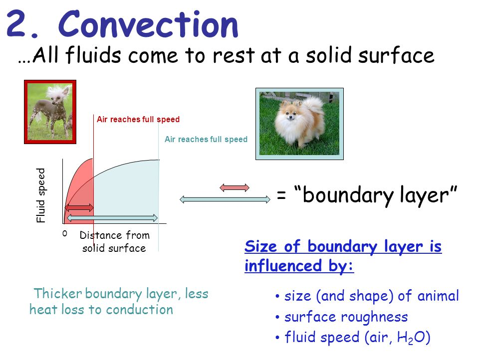 2. Convection …All fluids come to rest at a solid surface Size of boundary layer is influenced by: size (and shape) of animal Thicker boundary layer,