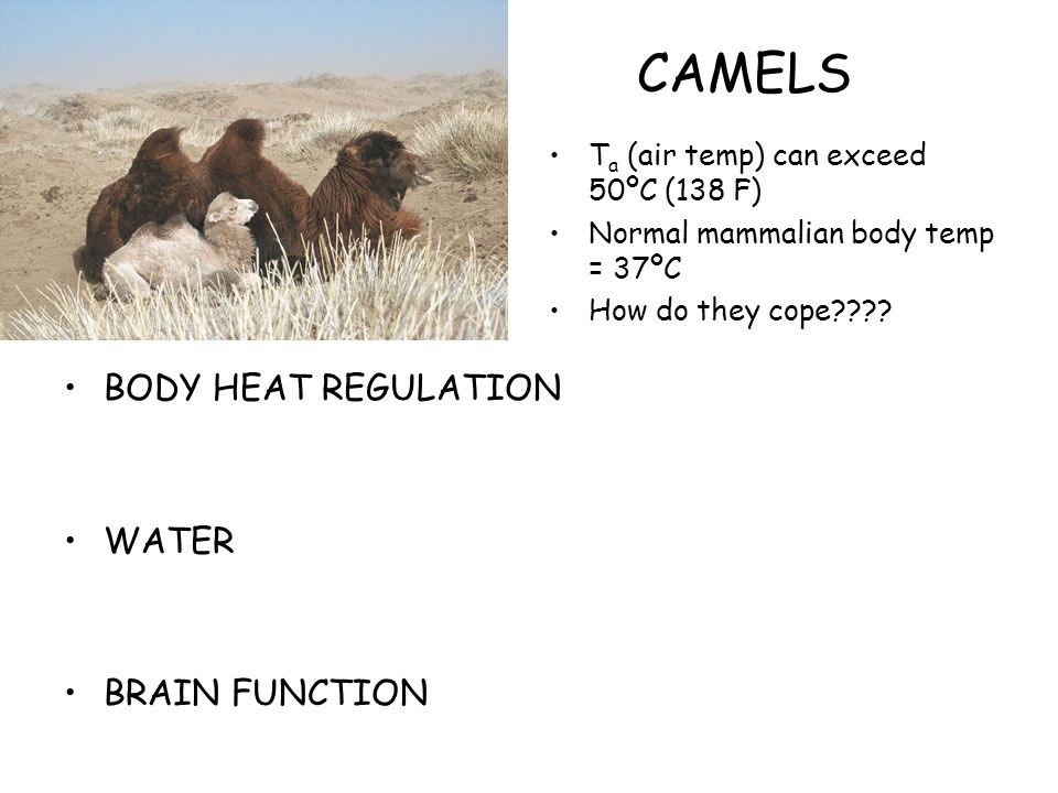 CAMELS BODY HEAT REGULATION WATER BRAIN FUNCTION T a (air temp) can exceed 50ºC (138 F) Normal mammalian body temp = 37ºC How do they cope????