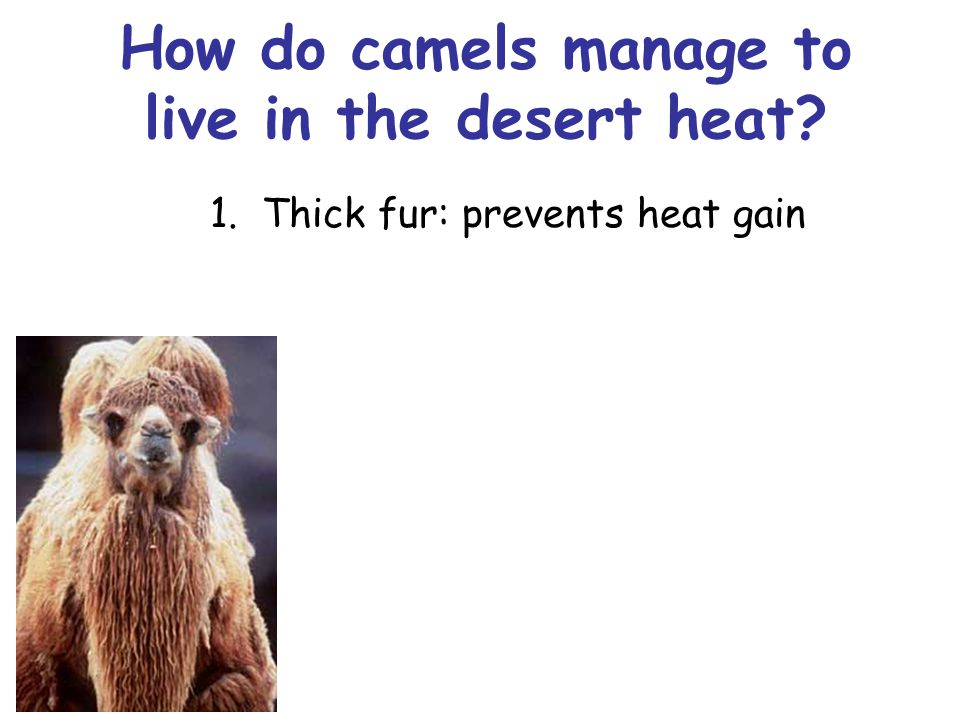 How do camels manage to live in the desert heat? 1. Thick fur: prevents heat gain