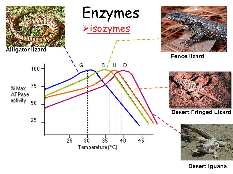Enzymes Alligator lizard Fence lizard Desert Fringed Lizard Desert Iguana  isozymes