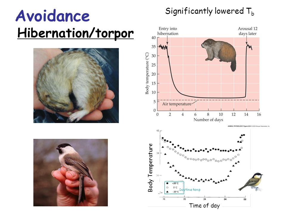 Significantly lowered T b Avoidance Hibernation/torpor Body Temperature Time of day Daytime temp