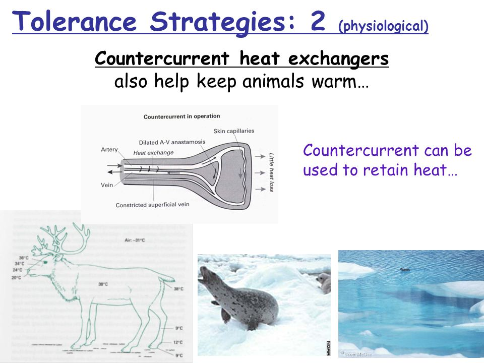 Countercurrent can be used to retain heat… Countercurrent heat exchangers also help keep animals warm… Tolerance Strategies: 2 (physiological)