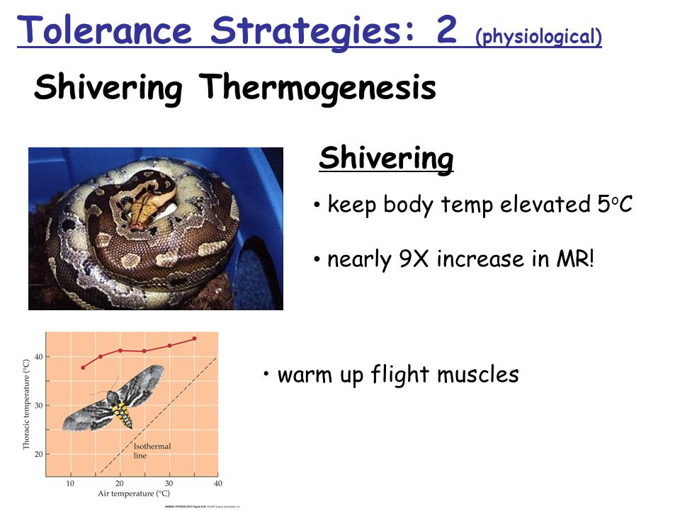 Shivering keep body temp elevated 5 o C nearly 9X increase in MR! Shivering Thermogenesis warm up flight muscles Tolerance Strategies: 2 (physiologica