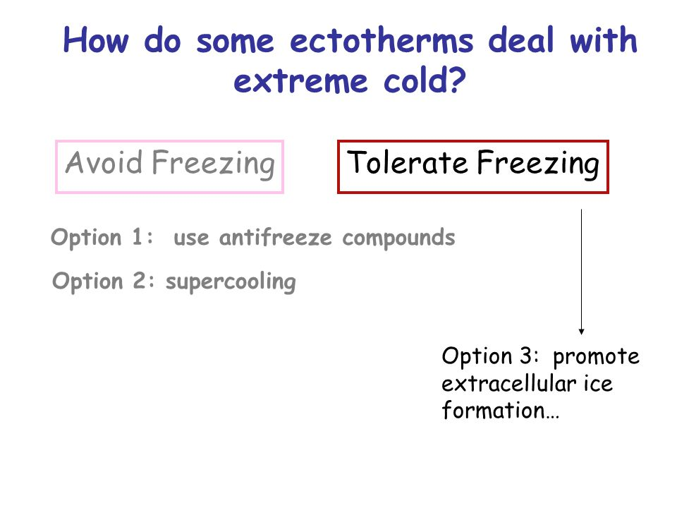 Tolerate Freezing Option 3: promote extracellular ice formation… How do some ectotherms deal with extreme cold? Avoid Freezing Option 1: use antifreez
