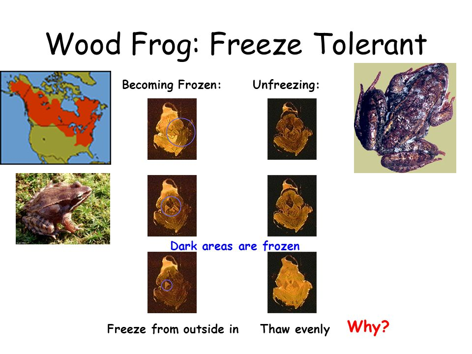 Wood Frog: Freeze Tolerant Becoming Frozen:Unfreezing: Freeze from outside inThaw evenly Dark areas are frozen Why?