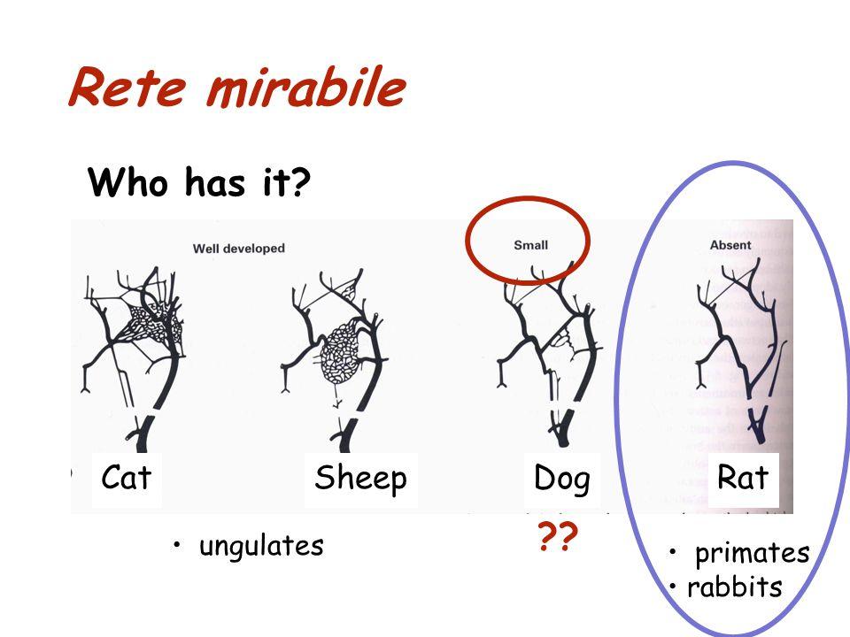 Rete mirabile Who has it? CatSheepDogRat primates rabbits ?? ungulates