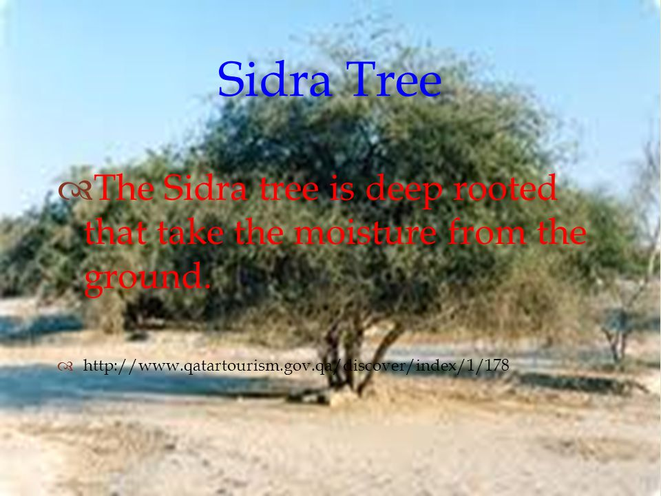  Sidra Tree  The Sidra tree is deep rooted that take the moisture from the ground.