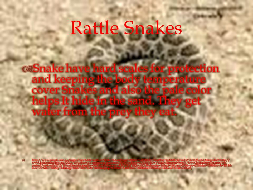  Rattle Snakes