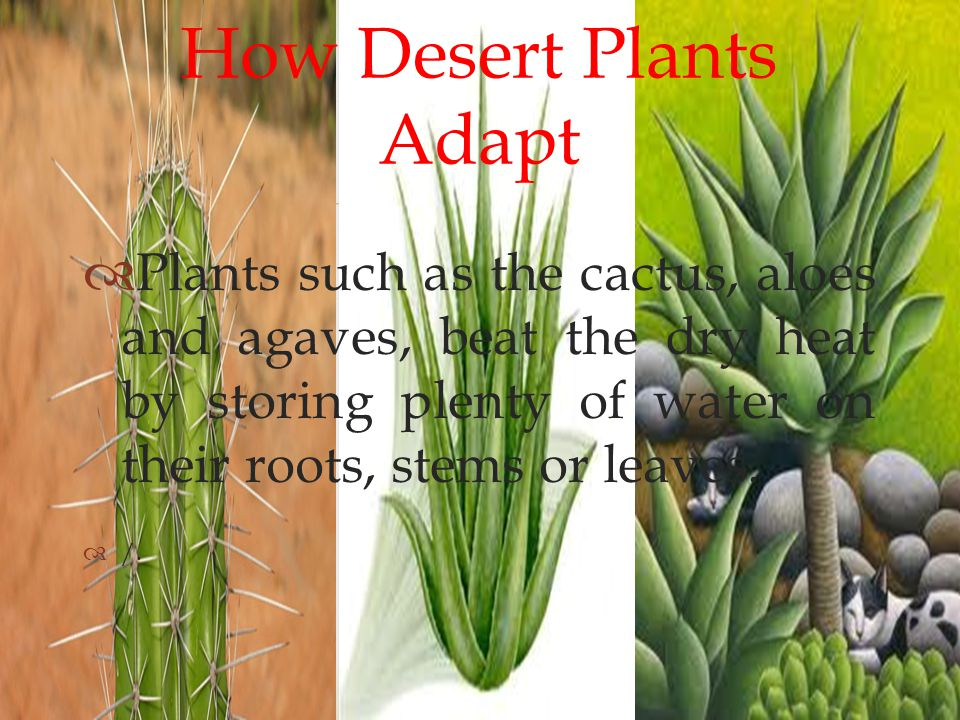  How Desert Plants Adapt PPlants such as the cactus, aloes and agaves, beat the dry heat by storing plenty of water on their roots, stems or leaves.