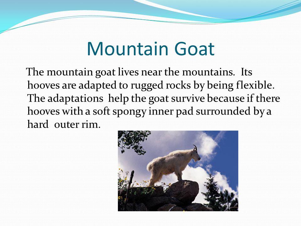 Mountain Goat The mountain goat lives near the mountains.