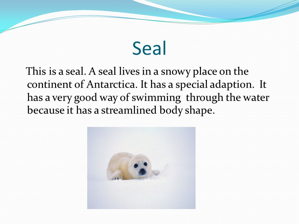 Seal This is a seal.A seal lives in a snowy place on the continent of Antarctica.