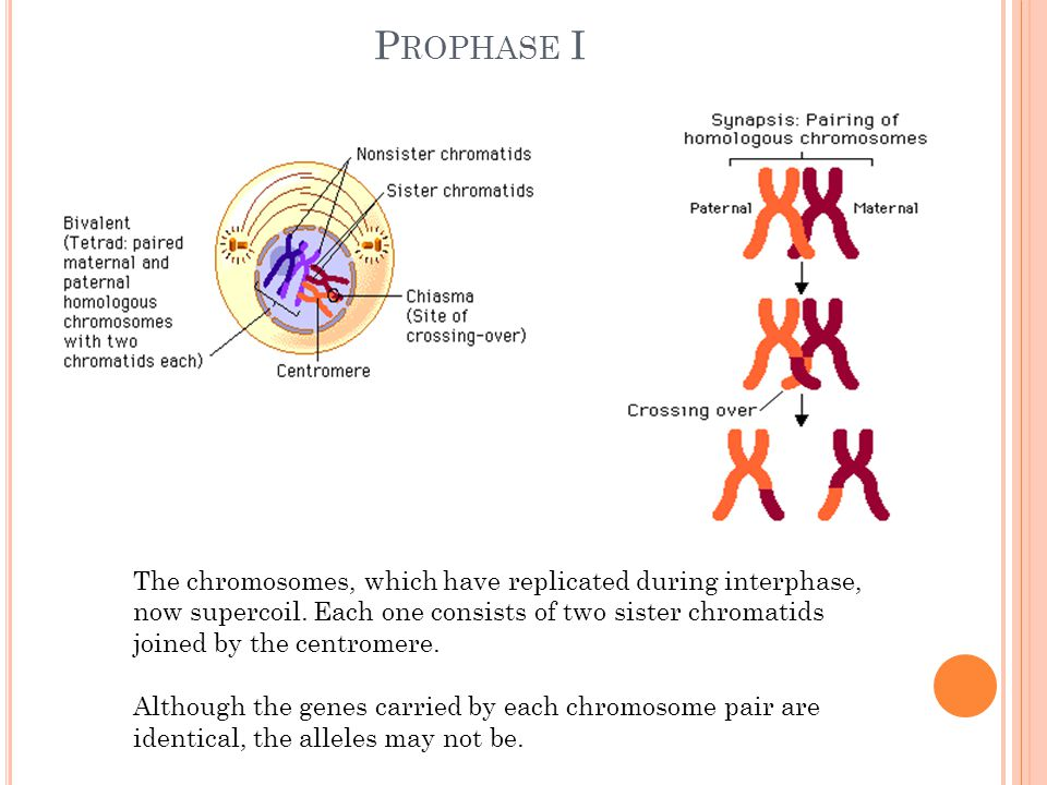 P ROPHASE I The chromosomes, which have replicated during interphase, now supercoil.