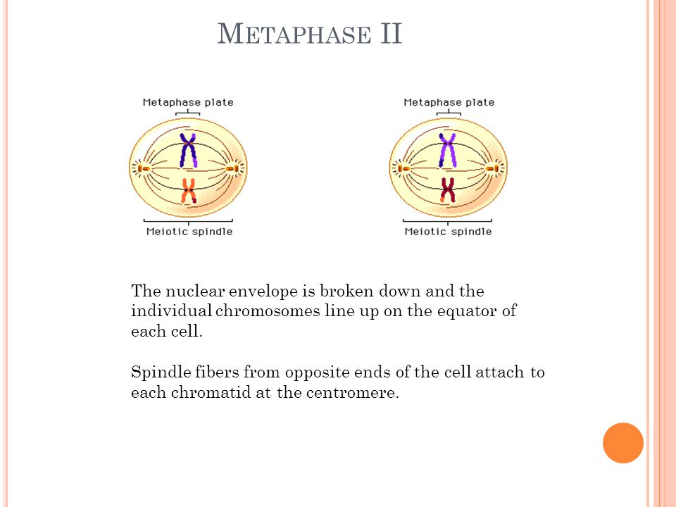 M ETAPHASE II The nuclear envelope is broken down and the individual chromosomes line up on the equator of each cell.