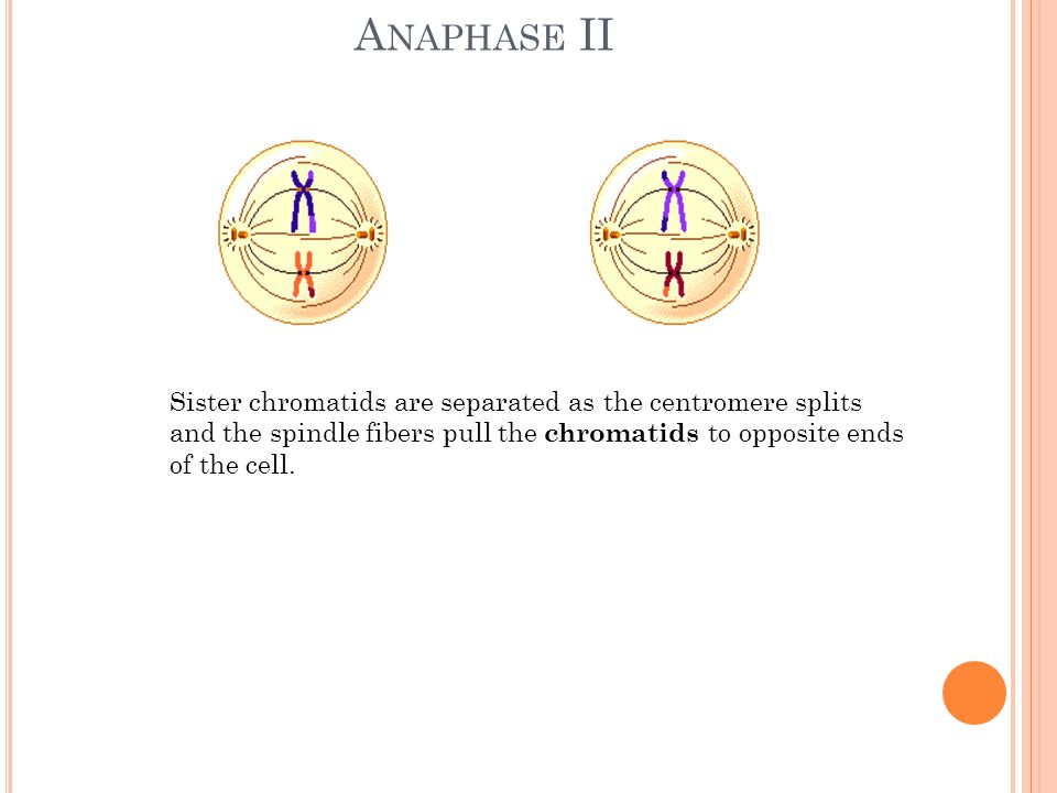 A NAPHASE II Sister chromatids are separated as the centromere splits and the spindle fibers pull the chromatids to opposite ends of the cell.
