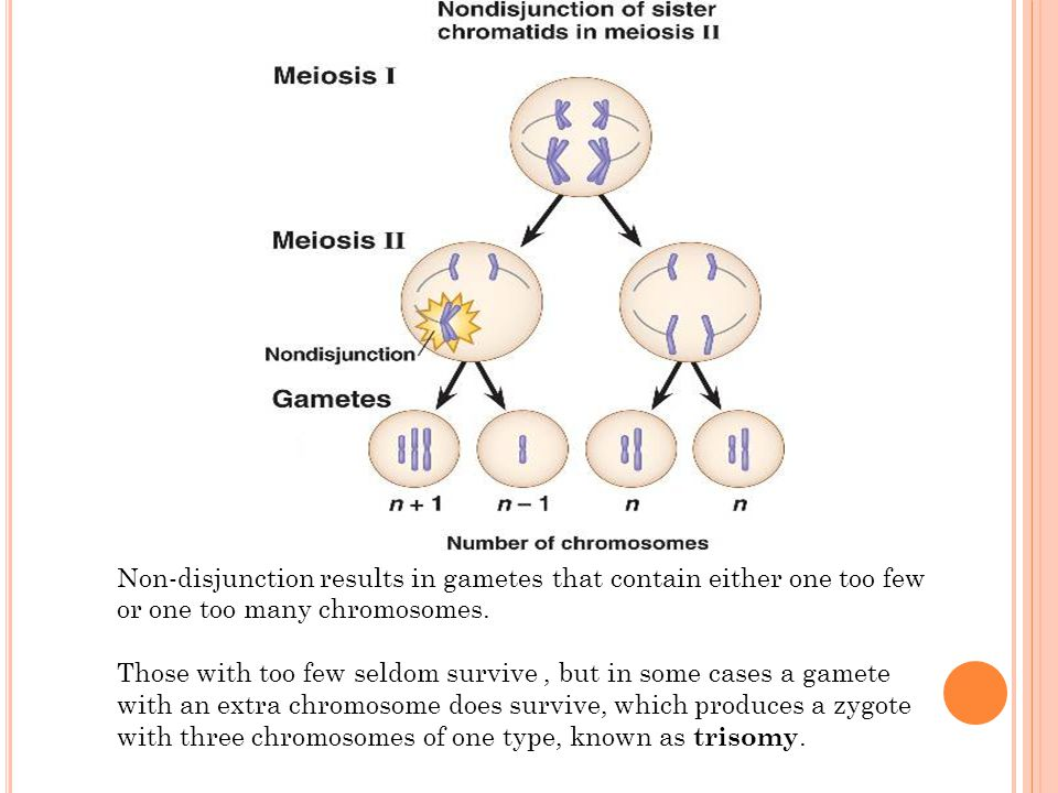 Non-disjunction results in gametes that contain either one too few or one too many chromosomes.