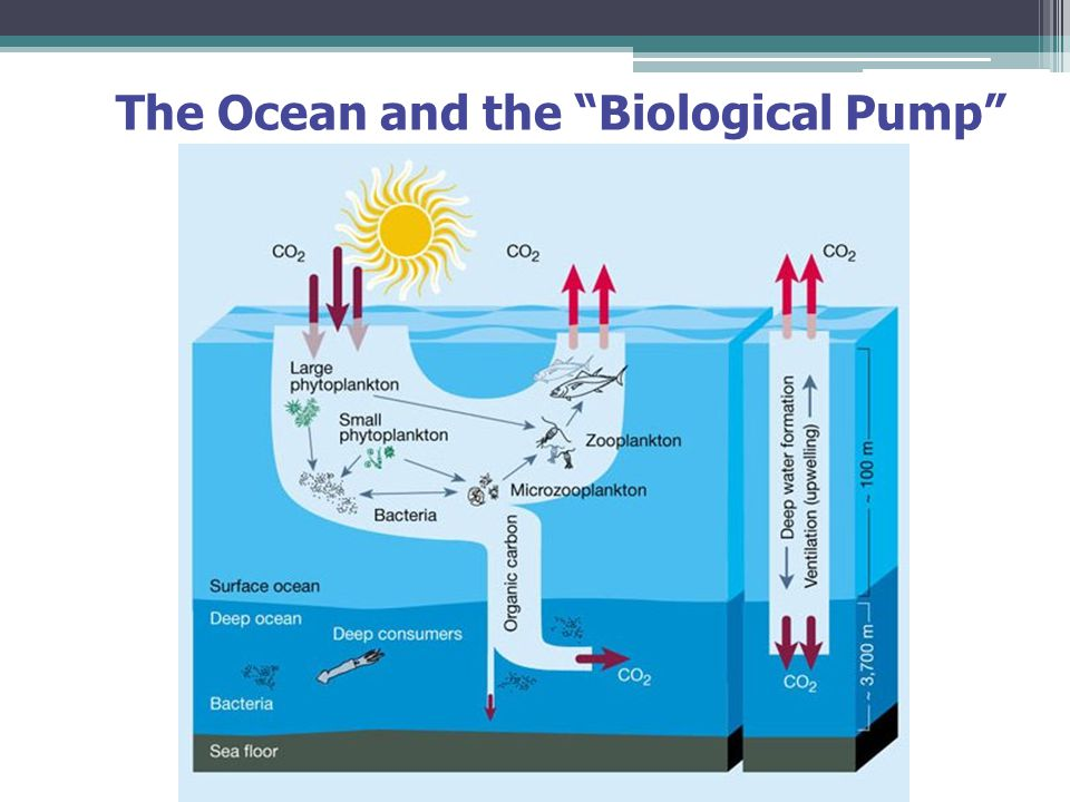 The Ocean and the Biological Pump