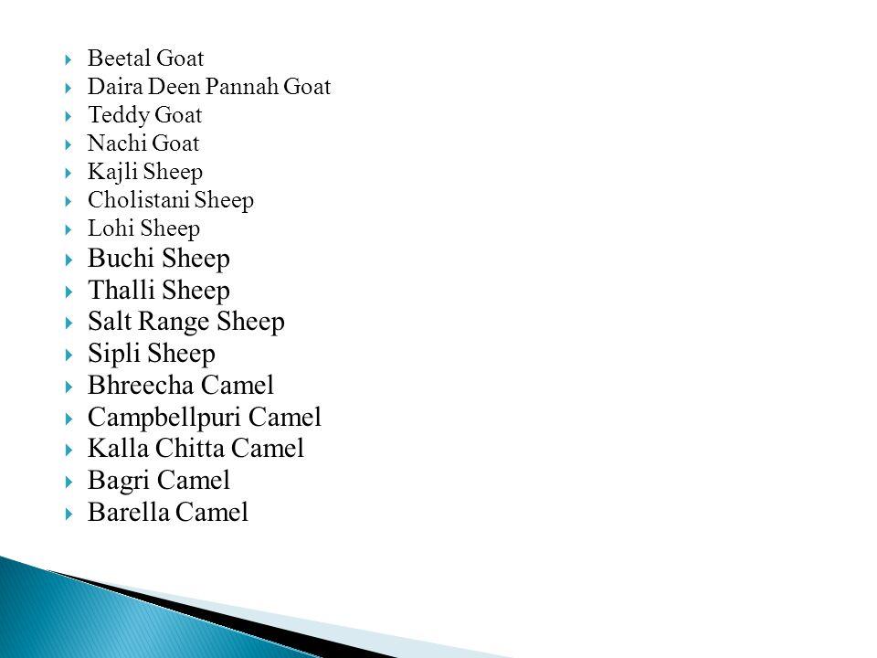  Beetal Goat  Daira Deen Pannah Goat  Teddy Goat  Nachi Goat  Kajli Sheep  Cholistani Sheep  Lohi Sheep  Buchi Sheep  Thalli Sheep  Salt Range Sheep  Sipli Sheep  Bhreecha Camel  Campbellpuri Camel  Kalla Chitta Camel  Bagri Camel  Barella Camel