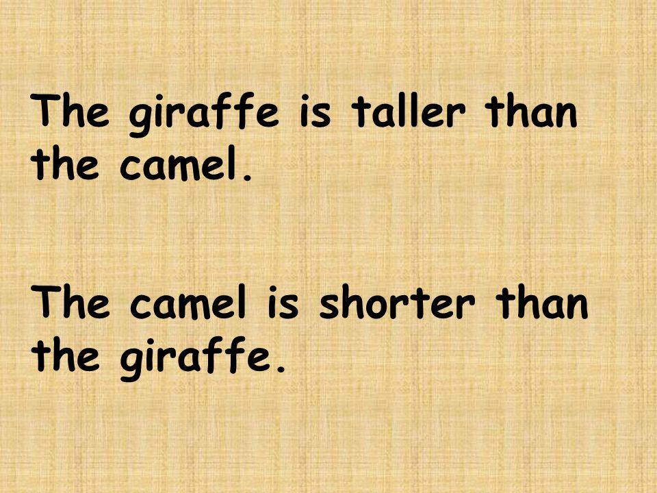 The giraffe is taller than the camel. The camel is shorter than the giraffe.