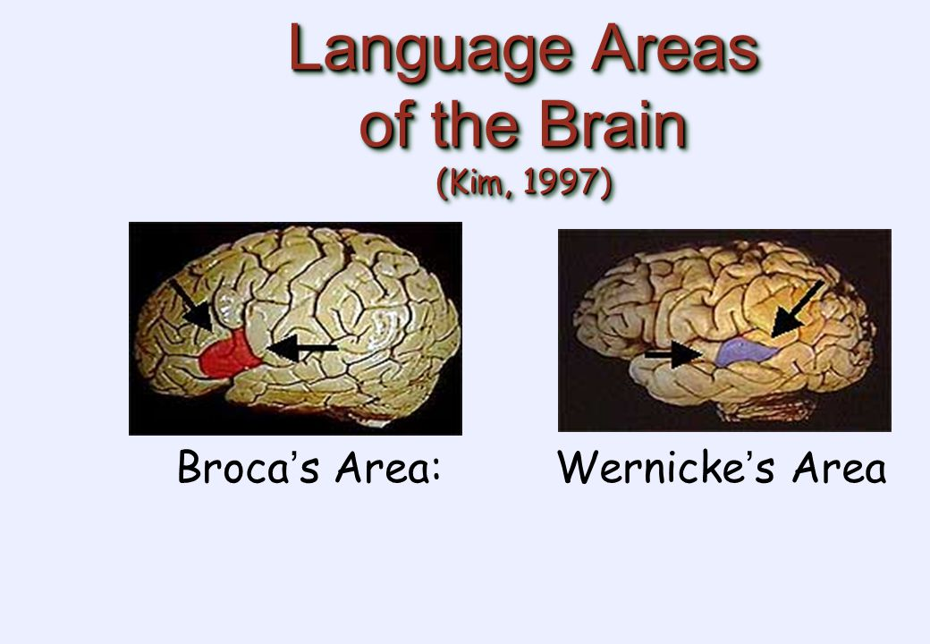 Language Areas of the Brain (Kim, 1997) Broca ' s Area:Wernicke ' s Area