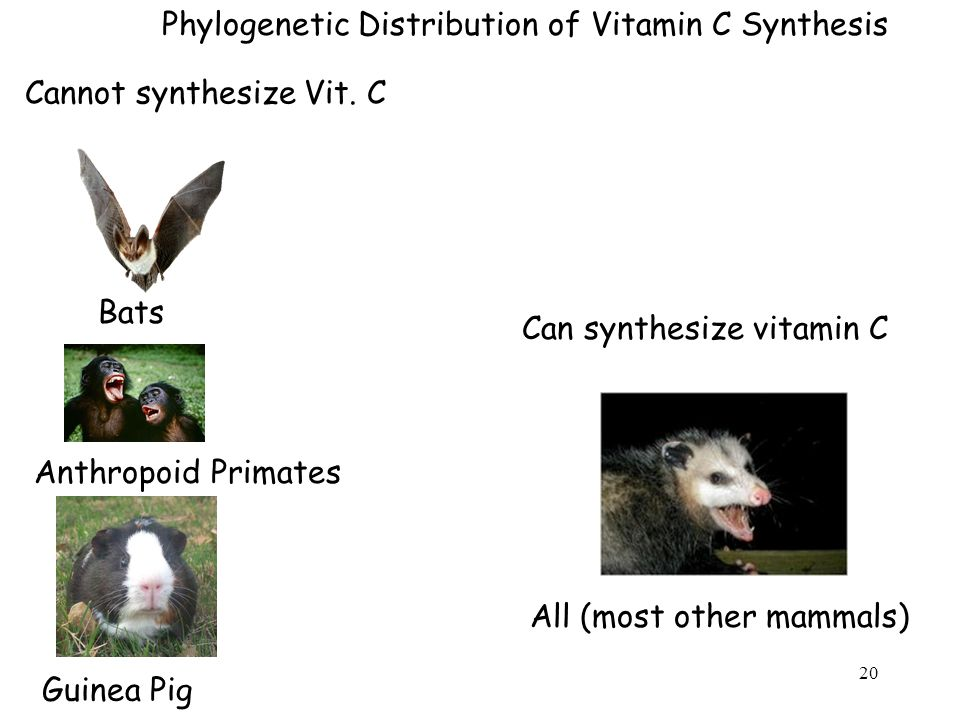 Phylogenetic Distribution of Vitamin C Synthesis Guinea Pig Anthropoid Primates Bats All (most other mammals) Cannot synthesize Vit.