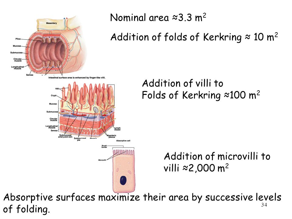 Nominal area ≈3.3 m 2 Addition of folds of Kerkring ≈ 10 m 2 Addition of villi to Folds of Kerkring ≈100 m 2 Addition of microvilli to villi ≈2,000 m 2 Absorptive surfaces maximize their area by successive levels of folding.