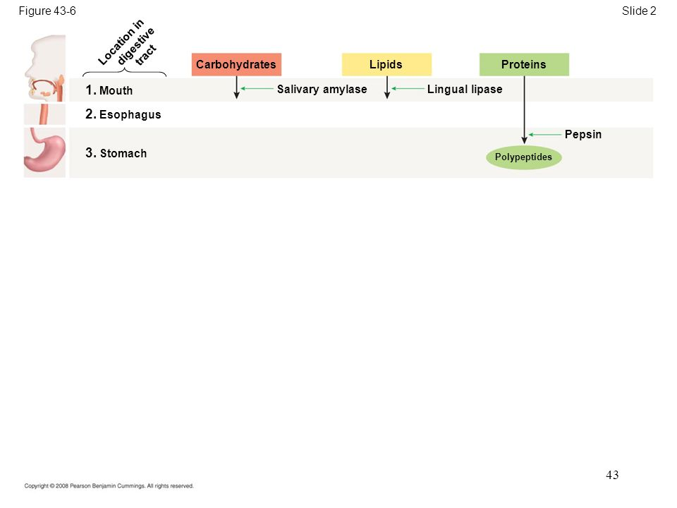 Figure 43-6 Carbohydrates Slide 2 Location in digestive tract 1.
