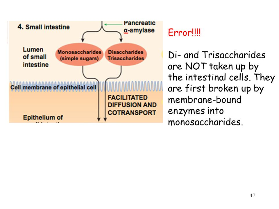 Error!!!. Di- and Trisaccharides are NOT taken up by the intestinal cells.