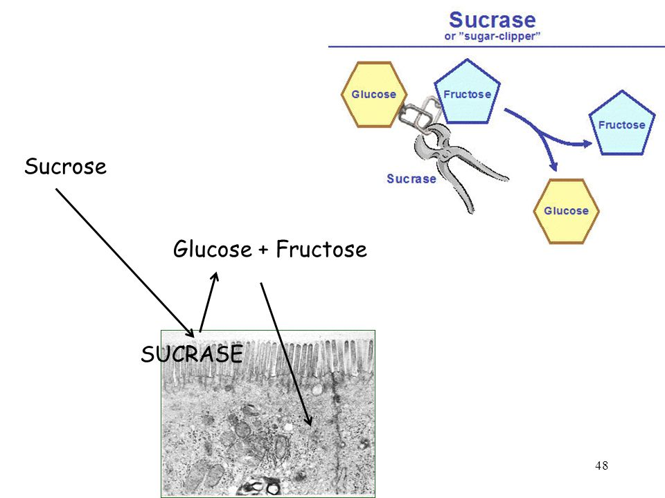 Sucrose Glucose + Fructose 48 SUCRASE