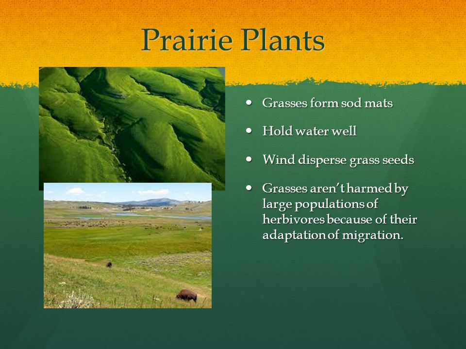 Prairie Plants Grasses form sod mats Hold water well Wind disperse grass seeds Grasses aren't harmed by large populations of herbivores because of their adaptation of migration.