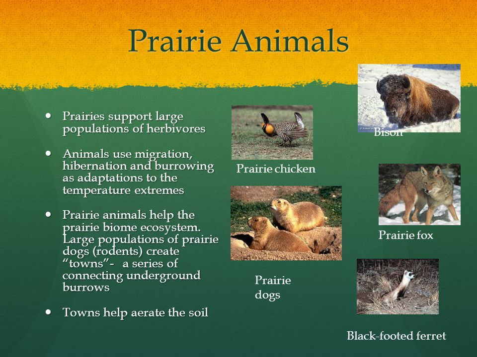 Prairie Animals Prairies support large populations of herbivores Prairies support large populations of herbivores Animals use migration, hibernation and burrowing as adaptations to the temperature extremes Animals use migration, hibernation and burrowing as adaptations to the temperature extremes Prairie animals help the prairie biome ecosystem.