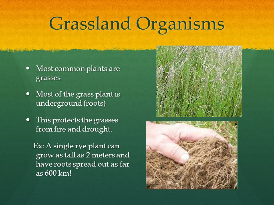 Grassland Organisms Most common plants are grasses Most common plants are grasses Most of the grass plant is underground (roots) Most of the grass plant is underground (roots) This protects the grasses from fire and drought.
