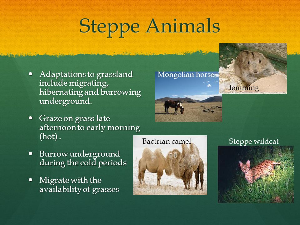 Steppe Animals Adaptations to grassland include migrating, hibernating and burrowing underground.
