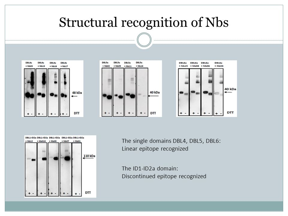 Structural recognition of Nbs The single domains DBL4, DBL5, DBL6: Linear epitope recognized The ID1-ID2a domain: Discontinued epitope recognized
