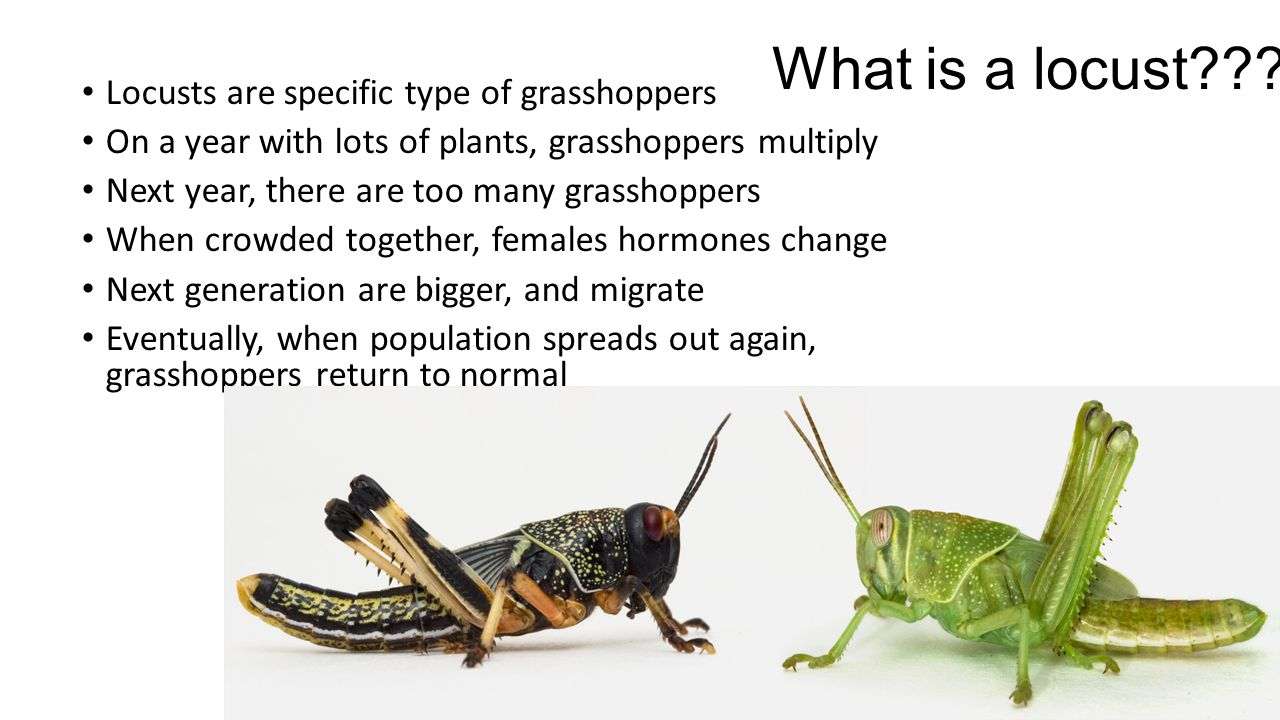 What is a locust??.