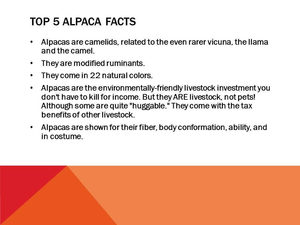 TOP 5 ALPACA FACTS Alpacas are camelids, related to the even rarer vicuna, the llama and the camel.