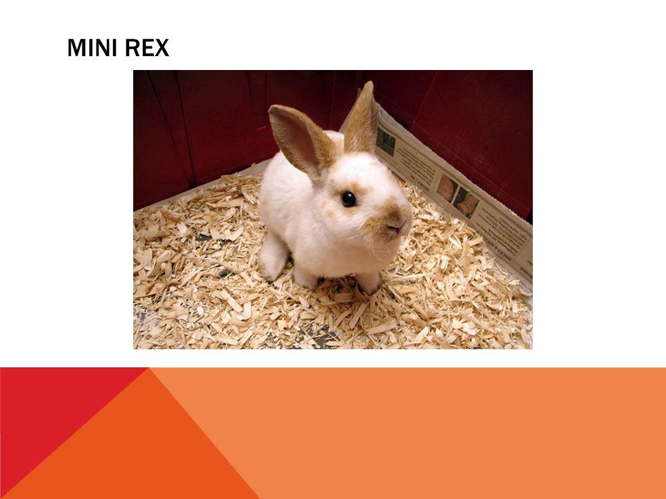 MINI REX