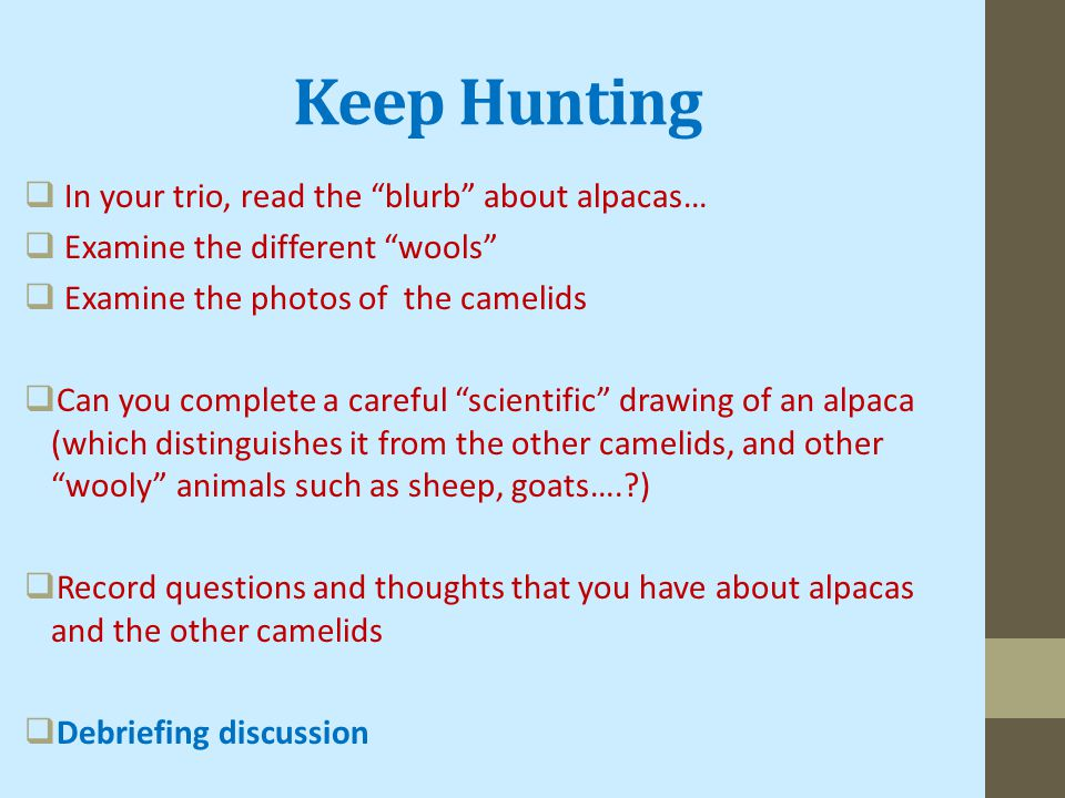 Keep Hunting  In your trio, read the blurb about alpacas…  Examine the different wools  Examine the photos of the camelids  Can you complete a careful scientific drawing of an alpaca (which distinguishes it from the other camelids, and other wooly animals such as sheep, goats…. )  Record questions and thoughts that you have about alpacas and the other camelids  Debriefing discussion
