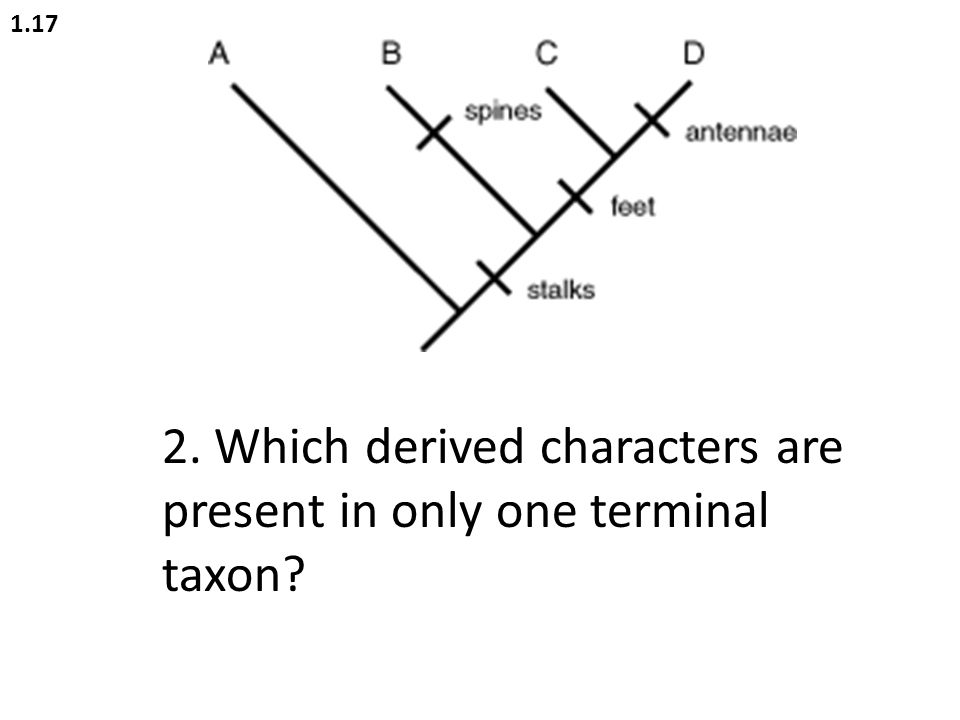 2. Which derived characters are present in only one terminal taxon? 1.17